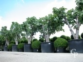 Ficus Carica 'Brown Turkey'  80-90 750l