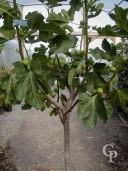 Ficus Carica 'Brown Turkey'  Half Std  18l