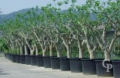 Ficus Carica 'Brown Turkey