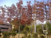 Fraxinus Ang 'Raywood'  Pleached  14-16  50l
