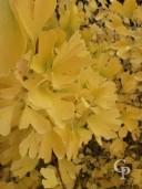 Ginkgo Biloba Foliage