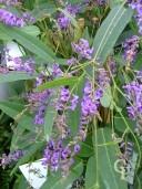 Hardenbergia Violacea  Flower