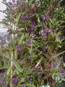 Hardenbergia Violacea 2,00  10l