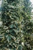 Hedera Helix 'Elegantissima'  2,00  10l