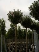 Hibiscus Syr 'Hamabo'  Std