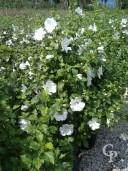 Hibiscus Syr 'Totus 'Albus'