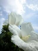 Hibiscus Syr 'Totus Albus'