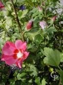 Hibiscus Syr 'Woodenbridge'
