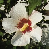 Hibiscus Syr 'Red Heart'