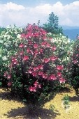 Hibiscus Syr 'Woodenbridge