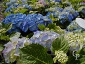 Hydrangea  Macro 'Early Blue'     5l