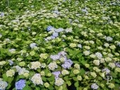 Hydrangea 'Endless Summer Blue'   10l