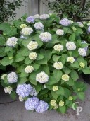 Hydrangea 'Endless Summer Blue'  35l