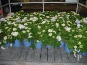 Hydrangea 'Endless Summer Blue'