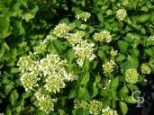 Hydrangea 'Endless Summer White'