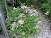 Hydrangea 'Tricolor'