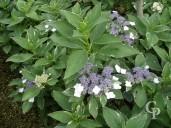Hydrangea Macro 'Tricolor'   10l