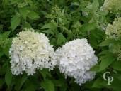 Hydrangea Pan  Limelight 10l