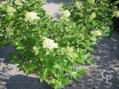 Hydrangea Pani 'Limelight'   5l