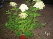 Hydrangea Panic 'Limelight'    5l
