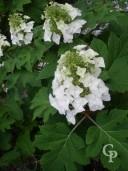 Hydrangea Quercifolia    10l