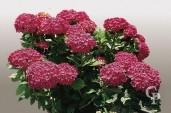 Hydrangea H Rossa