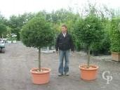 Ilex Aquifolium Half Std LV100