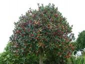 Ilex Aquifolium Std 35 285l