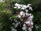 Jasminium Polyanthemum