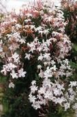 Jasminum Polyanthemum