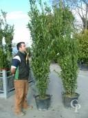 Laurus Nobilis  2,75-3,00  60l