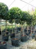 Laurus Nobilis 1,20 Stem 80 Crown