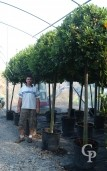 Laurus Nobilis 20+ 1,60 Stem 1,10 Crown