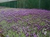 Lavandula Stoechas  Flower
