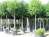 Ligustrum Japonicum  Extra Std