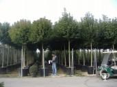 Ligustrum Japonicum 2m Std