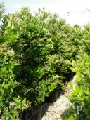 Ligustrum Texanum   2,00  50l