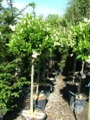 Ligustrum Texanum  12 Std  30l