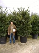 Ligustrum Texanum  140l Bush
