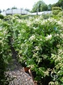 Ligustrum Texanum  Trough  1,25 LV60
