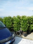 Ligustrum Texanum 1,752,00 50l