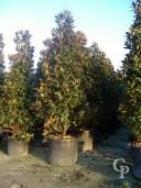 Magnolia 110l