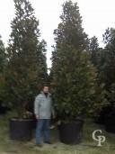 Magnolia Clt  300  400 450