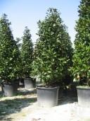 Magnolia Cone 3m