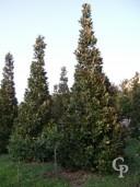 Magnolia Gallisoniensis 8  Metri
