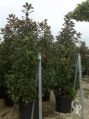 Magnolia Grandi Goliath 110l