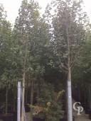 Magnolia Soulangeana Alba Superba Clt 240 20 25     @