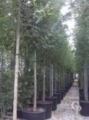 Magnolia Soulangeana Alba Superba Clt 240 20 25