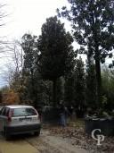 Magnolia Std 90cm