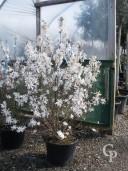 Magnolia Stellata   1,25-1,50   50l